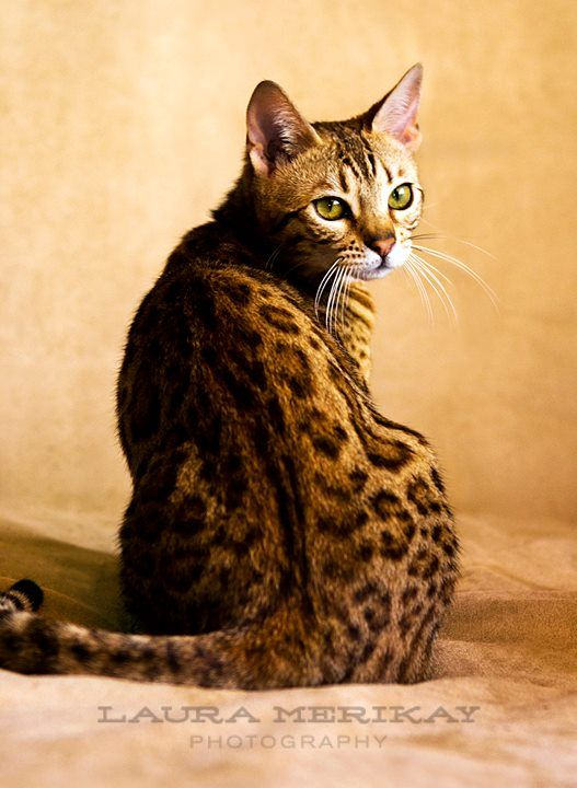 80 Best Images About Animals Bengal Cats On Pinterest