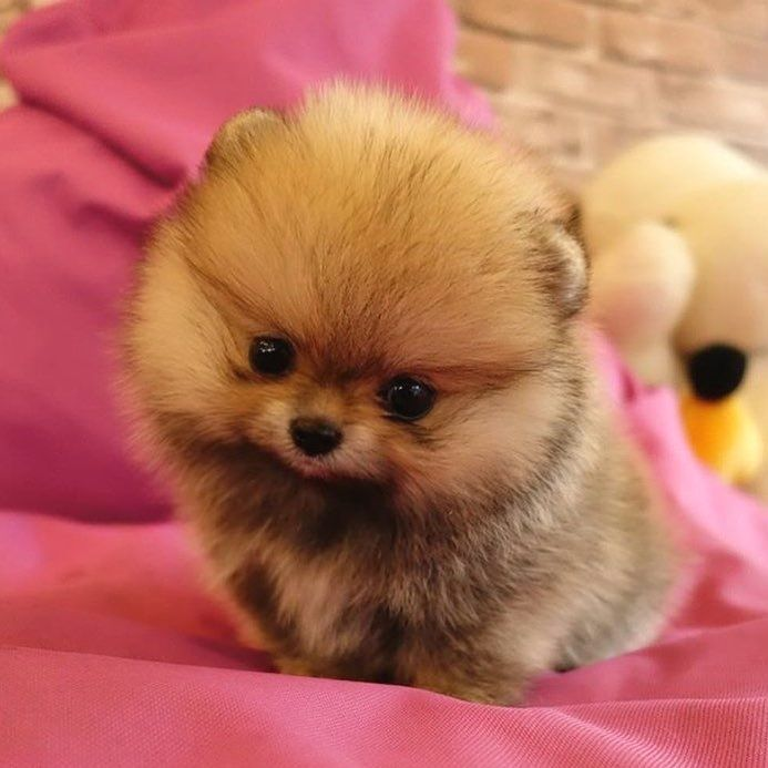 Most Inspiring Pomeranian Brown Adorable Dog - 3d140d98679fc1800409c6dcee1ac59c  Perfect Image Reference_421171  .jpg