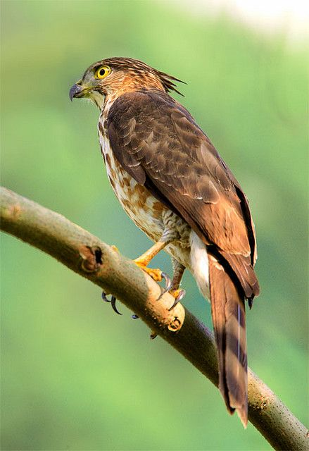 17 best images about birds of prey on pinterest for Fish hawk atlanta