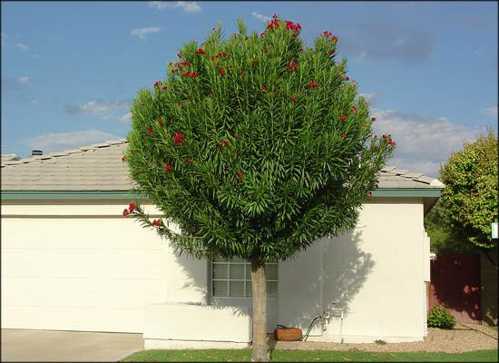 Oleander Tree For Evergreen Trees Moon Valley Nursery