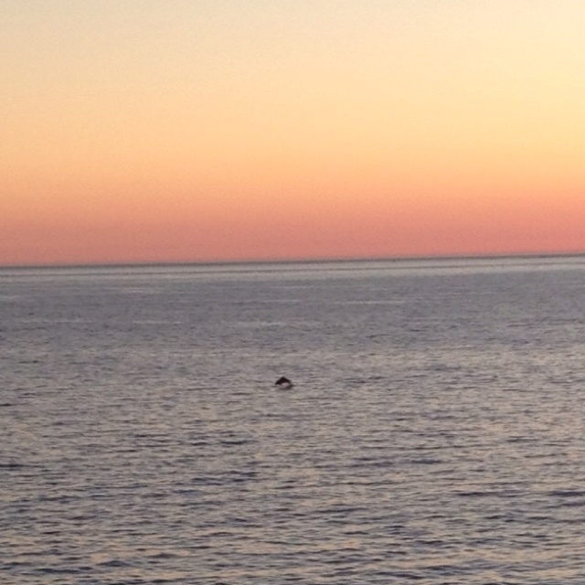 Spotted: dolphins on Friday whilst watching the sunset after having fish and chips at the beach.