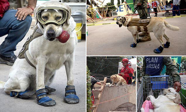 Frida the Navy dog has located 12 people alive and 40 other dead throughout her career. During the Mexican earthquake she has been digging at a school in southern Mexico City where 25 have died.