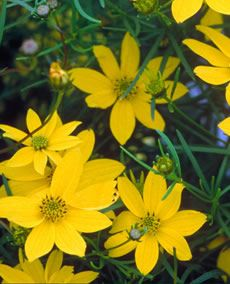 Coreopsis Attracts Erflies With Little Yellow Flowers Over Rich Green Ferny Foliage For