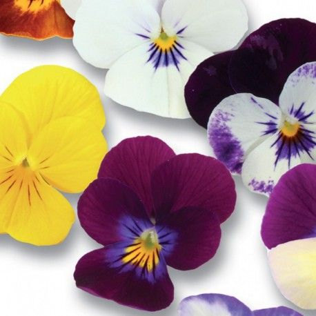Ha un delicato sapore di lavanda... Acquista ora Cornabria Blossom da un'ampia selezione di foglie e fiori!