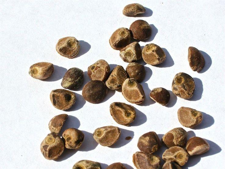 Hawaiian Baby Woodrose Seeds (Hawaiian Strain) - 30 seeds