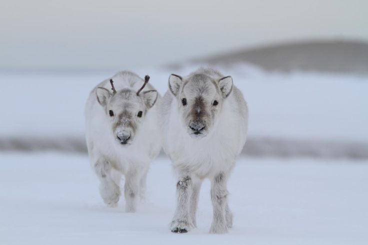 Svalbard Reindeer calves- Rangifer tarandus platyrhynchus