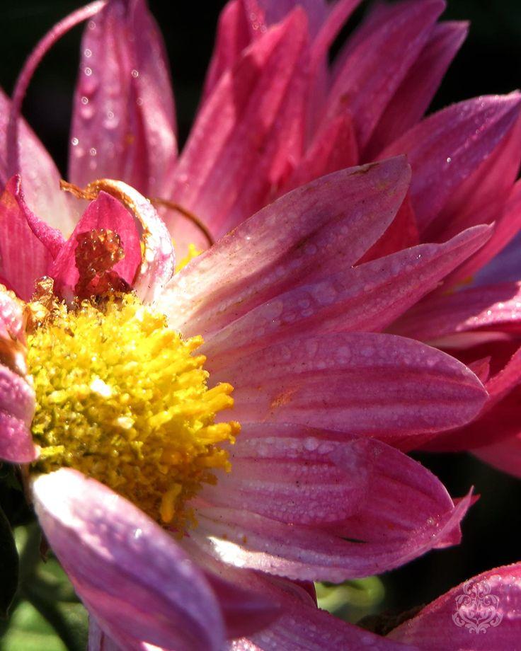 Akiko Nishijima(@AkikoNisijima)さん   Twitterの画像/動画 #写真 #花 #flower #ファインダー越しの私の世界