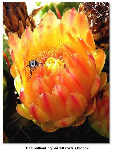 Carpenter Bees - wood boring bees love to feed on the cactus blooms on the algarve' and yucca cactus