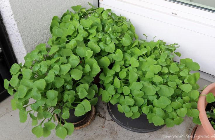 Winterportulak in Töpfen auf dem Balkon. Ein feiner Salat, der Problemlos im Winter wächst. Balkongarten