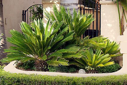 7 Best Landscaping With Sego Palms Images On Pinterest
