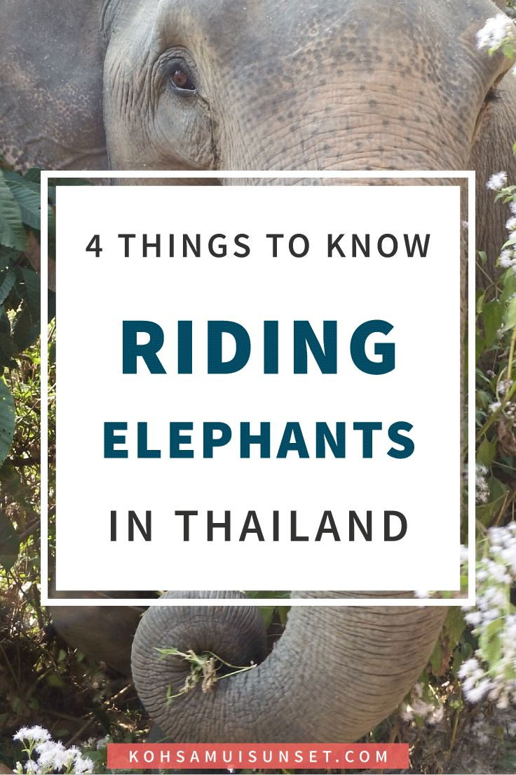 Elephants in Thailand? 4 Things You MUST Know About Elephants in Thailand, and what to do instead of riding elephants in Thailand. Click through to read more: