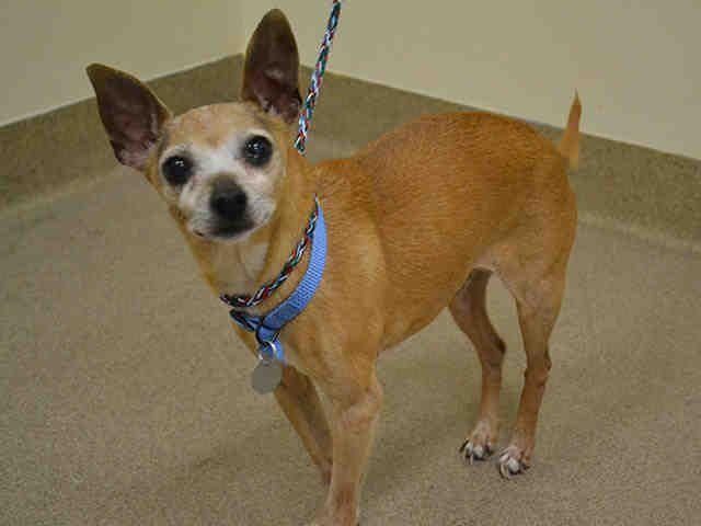 Chihuahua Dog For Adoption In Aurora Co Adn 824703 On Puppyfinder Com Gender Male Age Senior Dog Adoption Chihuahua Dogs Chihuahua