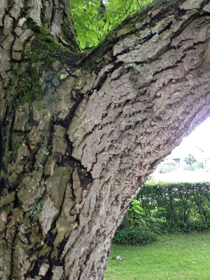 Notenboom | voorkant Die Magerhorst | nog over: noot, linde, rode beuk en eik | kastanje is helaas verdwenen
