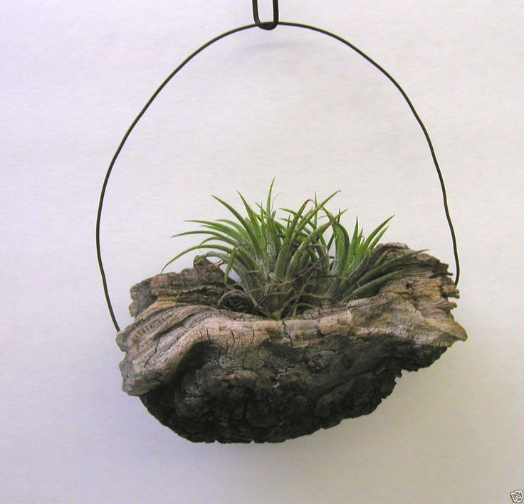 HANGING TILLANDSIA  AIR PLANTS  HAND CRAFTED IN DRIFTWOOD ART
