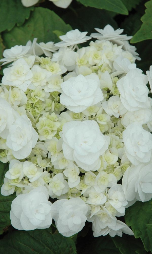 Wedding Gown Hydrangea - Earlier to bloom than other hydrangeas. Blooms time-and-again from midsummer until frost.  Beautiful white double blooms against dark green to mid-green foliage. Plant in a shade garden or add it to a container and it will become a pretty focal point on your patio.    Height: 3-4 ft.  Width:  3-4 ft.  Water: Moist, but well-drained soil  Blooms: Summer  Exposure: Partial Shade  Hardiness: Zone 5