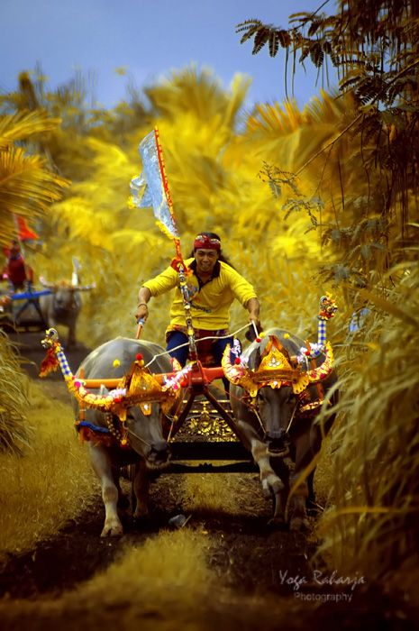 The Faces Of Indonesia: [BALINESE CULTURE] BULL-RACE - MAKEPUNG