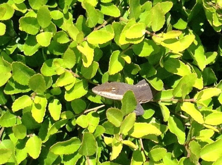 Geco found in a bush.