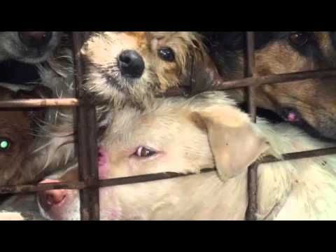 Dogs stolen and smuggled by Dog-meat mafia in Thailand