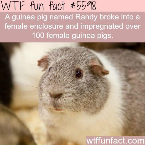 Guinea pig impregnated over 100 female guinea pigs - WTF fun facts