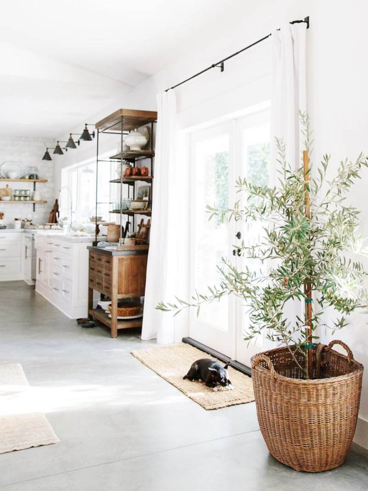 Indoor olive tree plant. Clean, white and bright with timber accents and polished concrete.