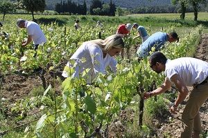 Adoption de pides de vigne au Domaine la Cabotte - Les parents adoptifs s'essaient à l'ébourgeonnage, crucial pour la future récolte #GourmetOdyssey