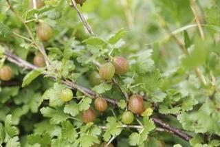 How to Freeze Gooseberries (6 Steps) | eHow