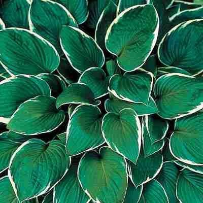 """Hosta """"Francee"""" - Love hosta, but don't have shade in your yard? Then try Francee Hosta. Francee is a favorite of landscapers because it performs well in almost any condition -- SUN or SHADE! Wonderful white margins contrast with the green heart shaped leaves. Francee Hosta is a medium-sized hosta that grows to 21'' high and 45'' wide. Produces lavender flowers on 2-3' scapes in late summer. Zones 3-9."""