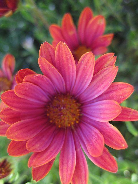 African Daisy (Osteospermum hybrid) 'Sunny Sheila'