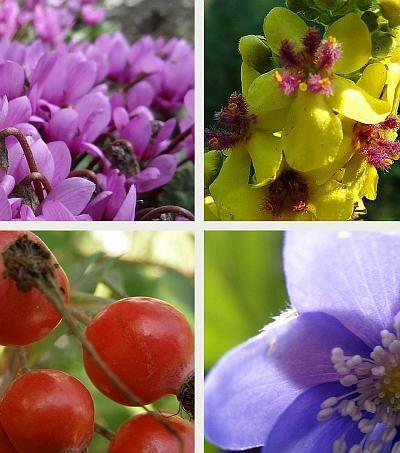 aus dem K.i.G. Workshop 'Einheimische Pflanzen im Garten': Alpenveilchen, Königskerze, Rose und Leberblümchen