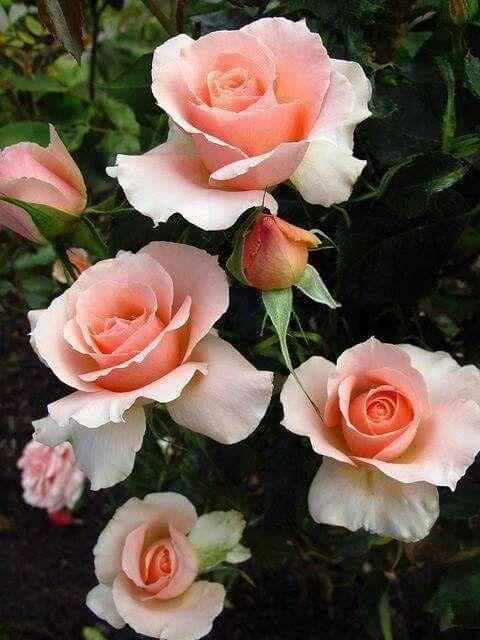 Pink roses in Facebook