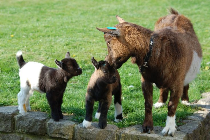 chickens for sale, angora goats, miniature goats for sale, baby ...