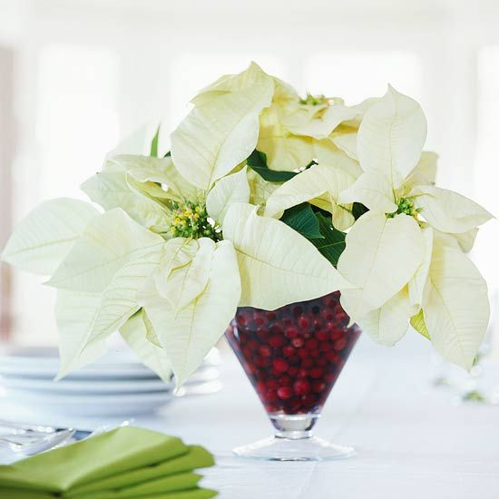 Cranberry Bouquet ~~ Cut a bouquet of ivory poinsettias for a table centerpiece. Cranberries in the clear glass vase hold the stems in place. Mingle the blossoms with Christmas greens if you wish. For a longer-lasting arrangement, insert each stem into a water-filled floral pick before adding them to the vase.