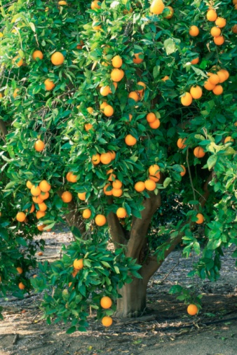 Orange tree, learned the hard way to buy these in pairs to cross pollenate so fruit blooms. Who knew?