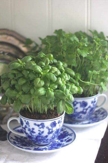 Basil planted in teacups for the kitchen. Perfect for the windowsill!: