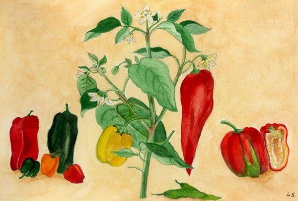 Peperoni in vaso come coltivare tutte le variet sul for Coltivare more in vaso