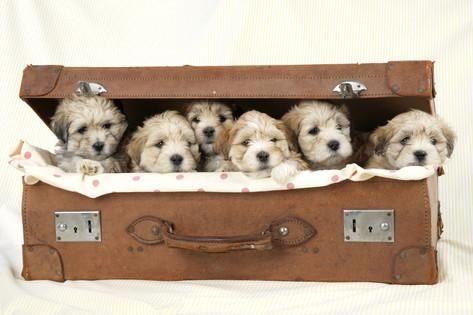 7 Weeks Old Lhasa Apso Cross Shih Tzu Puppies Stampa fotografica