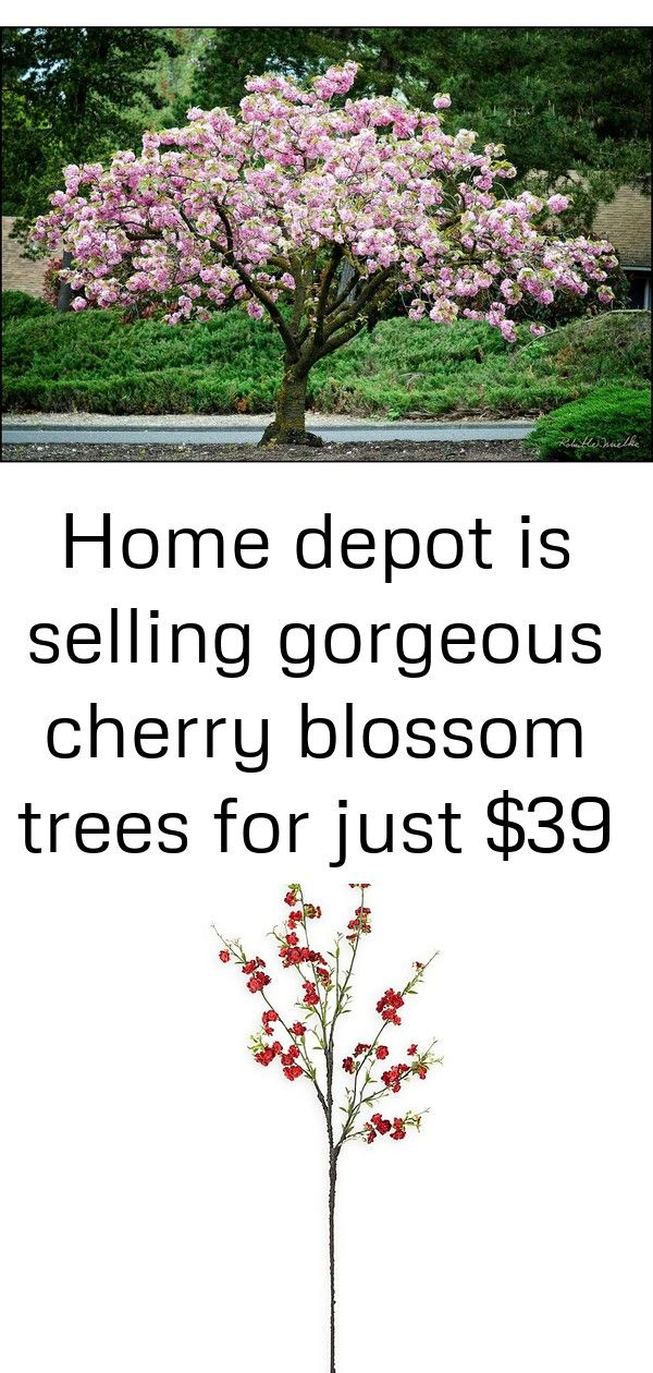 Home Depot Is Selling Gorgeous Cherry Blossom Trees For Just 39 1 Cherry Blossom Tree Blossom Cherry Blossom