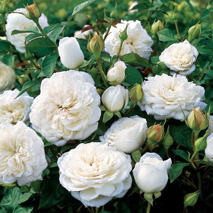 ~Pure Perfume Shrub Rose Jackson & Perkins
