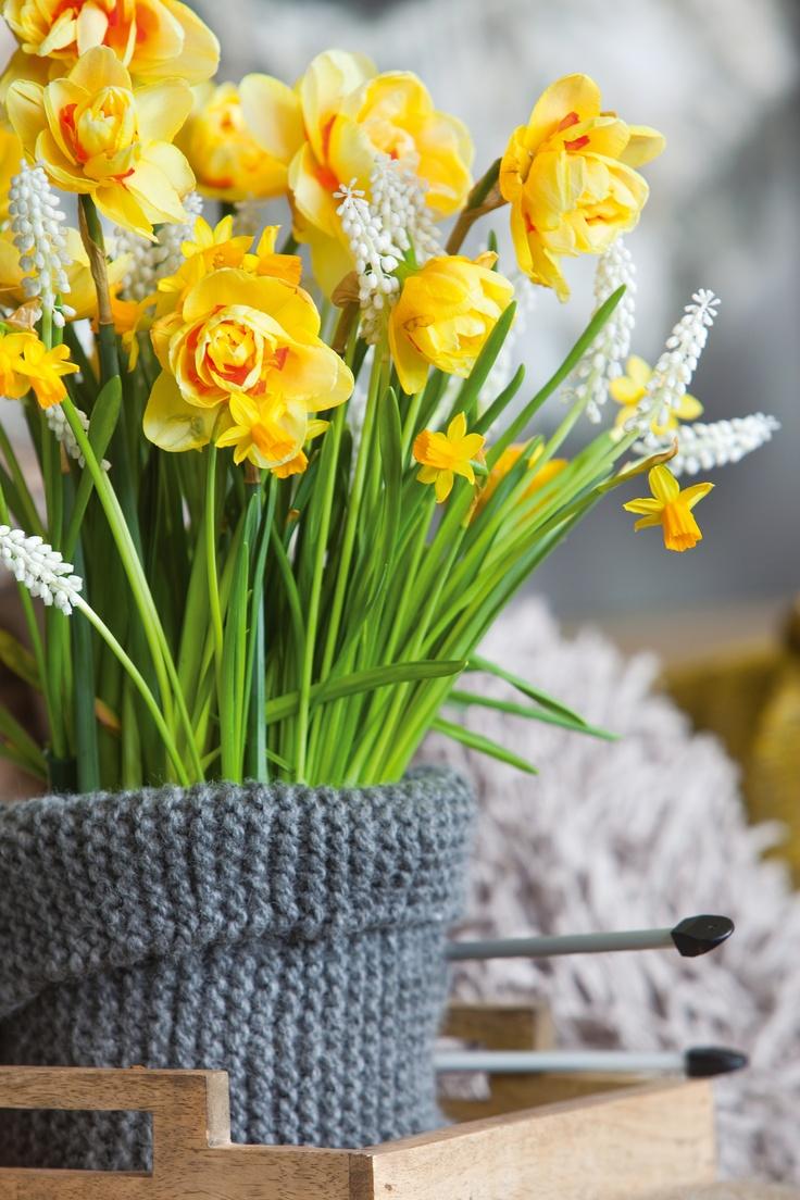 Geef je interieur kleur met narcissen. Natuurlijk zijn bloembollen ook prima te combineren. hier is gekozen voor een combinatie van narcissen en witte druifjes. Door het geheel in een vaas met een gebreide jas te plaatsen, versterk je het natuurlijke effect. Bloemen Bureau Holland