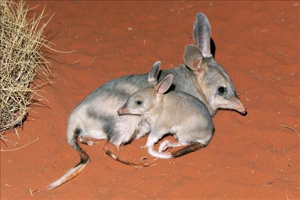 The Greater Bilby (Macrotis lagotis) is a marsupial, wearing its pouch backward to prevent any dirt coming in while digging. The other species in the genus Macrotis, the Lesser Bilby is extinct since the 1950s, because of fur trapping and the introduction of foxes and competition with introduced rabbits.