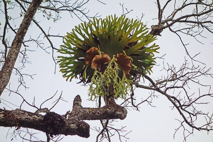 Platycerium holttumii, Kaeng Krachan NP, Thailand