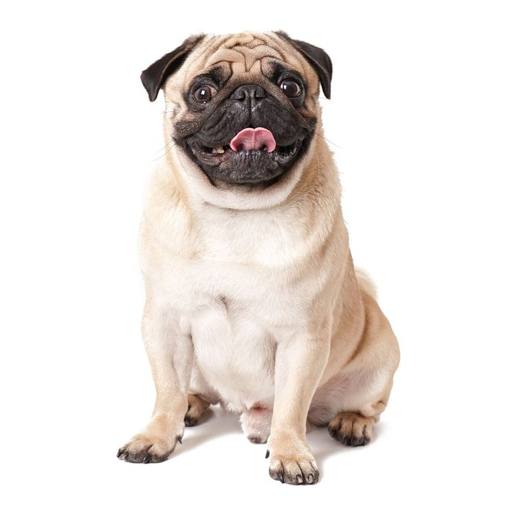 5 Surprising Facts About Pugs