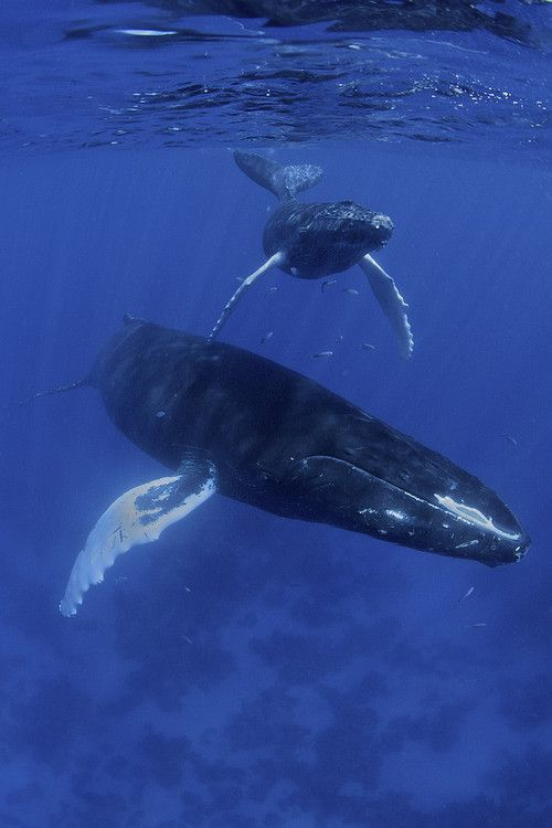 Humpback Whale - THEIR YEARLY MIGRATION FROM THE ANTARCTIC TO HAWAII AND BACK CAN BE SEEN ON THE AUSTRALIAN EAST COAST! WE LOVE OUR WHALES! JAPAN LEAVE OR WHALES ALONE, GO HOME WE DONT WANT YOU HERE!