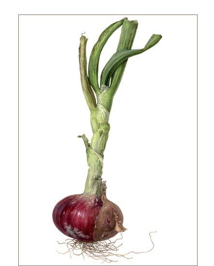 Red onion - Watercolor on paper