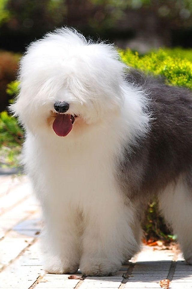 Bobtail - old English sheepdog