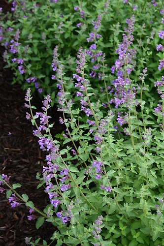 Part To Full Sun Perennial. This Is An Often Overlooked Plant For The Perennial  Garden. Very Pretty Long Lasting Blooms. Cut Back After Peak And It Will ...