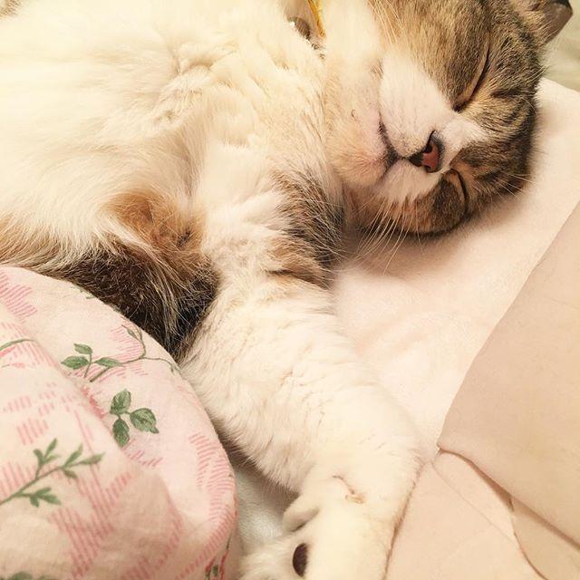 可愛いなぁ‥可愛いくてなかなか出かけられないw寝顔が赤ちゃんみたいꉂ(*´艸`❁)♡w  #愛猫#猫#ねこ#cat#고양이#Māo#動物#ペット#宠物#pet#애완동물#スコティッシュフォールド#ねこ部#にゃんすた#にゃんすたグラム#可愛い#寝てる#肉球#すごい#ポーズ#sexy#ゴロゴロ#鳴いてる#隣で#激しい#寝顔#赤ちゃん#電気毛布#あったかい#followme