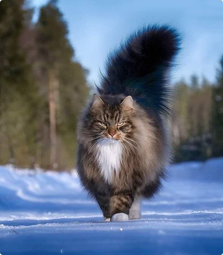 Pin By Alicia Caraballo On Koshki I Kotyata Gorgeous Cats Beautiful Cats Pretty Cats