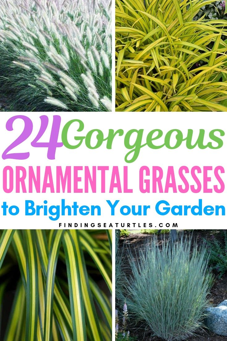 24 Best Ornamental Grasses Finding Sea Turtles Ornamental Grasses For Shade Ornamental Grasses Ornamental Grass Landscape