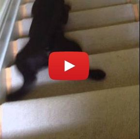 Puppy slides down the stairs on his tummy